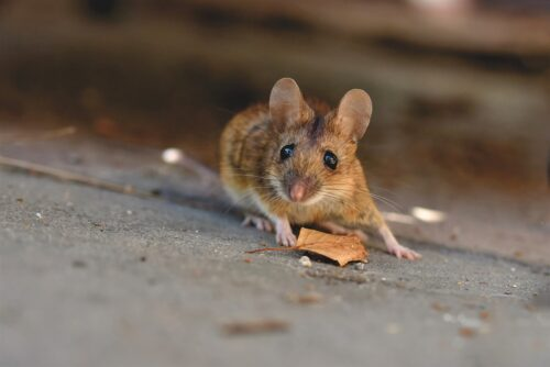house-mouse-5043031_1280
